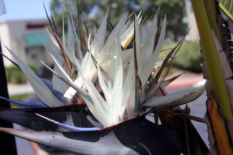 Gigantyczny biały ptak raj, Strelitzia Nicolai, ornamentacyjna roślina obraz stock