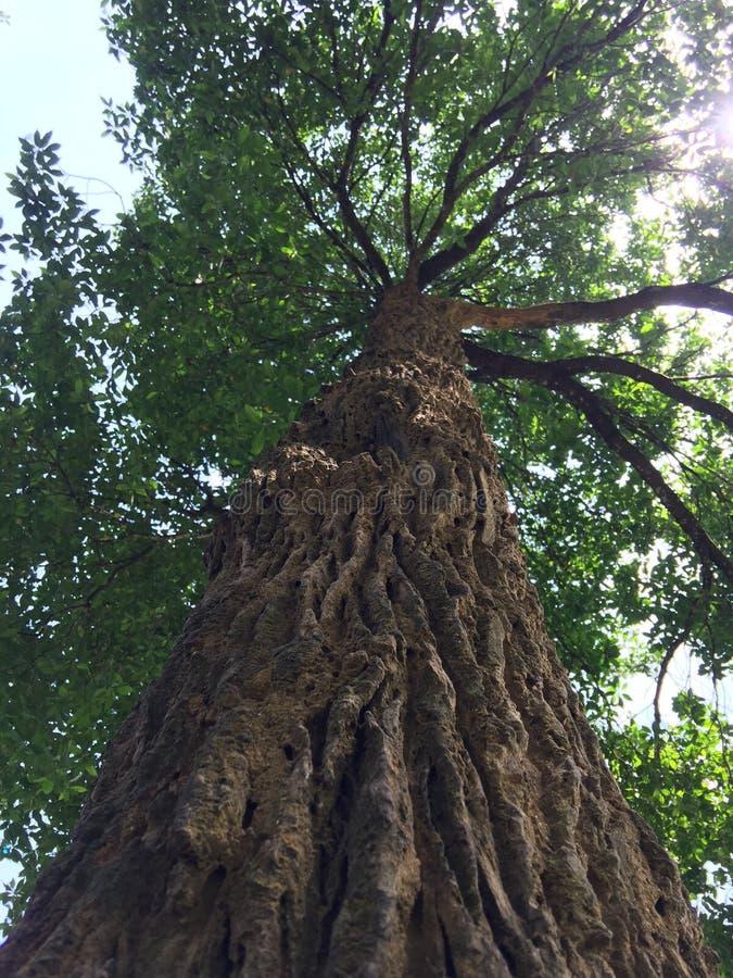 Gigantyczny drzewo od wierzchołka zgłębiać fotografia royalty free