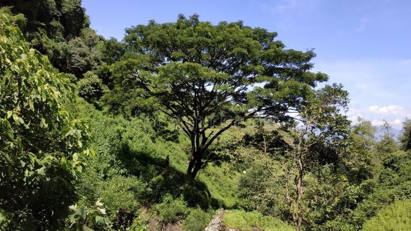Gigantyczny drzewo w środku las obraz royalty free