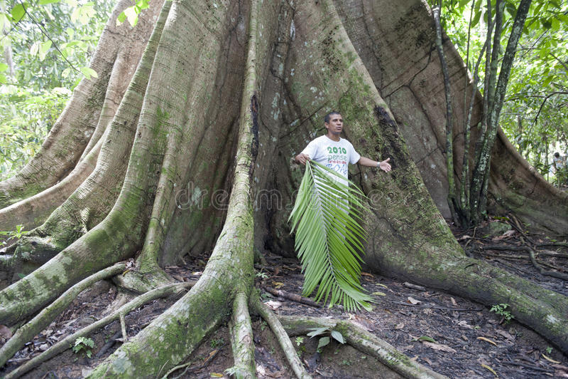 Gigantyczny drzewo w dżungli Brazylia zdjęcia royalty free