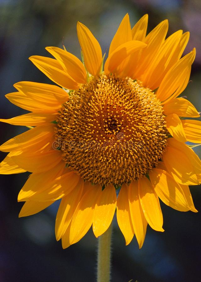 Gigantyczny Jaskrawy żółty szczęśliwy Słonecznikowy kwiatu Vertical odizolowywający zdjęcia royalty free