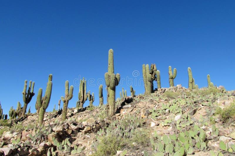 Gigantyczny kaktusowy dorośnięcie na wzgórzu obraz royalty free