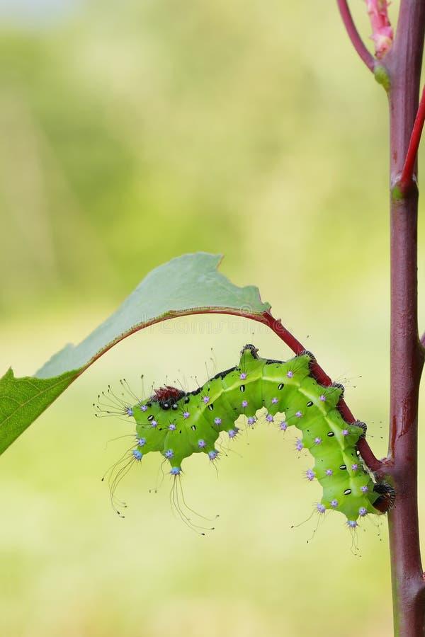 Gigantyczny pawi ćma caterpillarSaturnia pyri fotografia stock