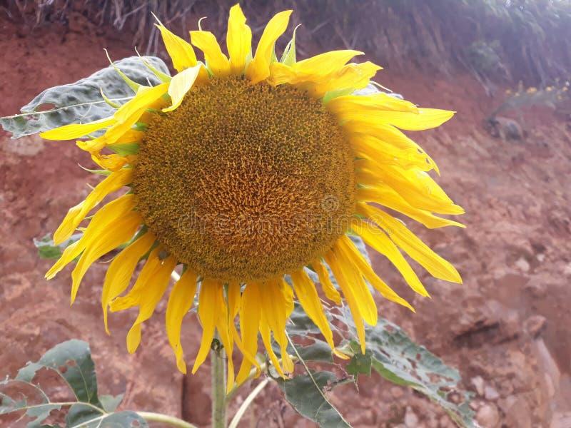 gigantyczny słonecznik zdjęcia royalty free
