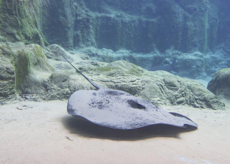 Gigantyczny Słodkowodny Stingray zdjęcia stock