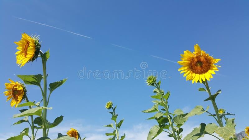 Gigantyczny słonecznik w Tajlandia 09 zdjęcia stock