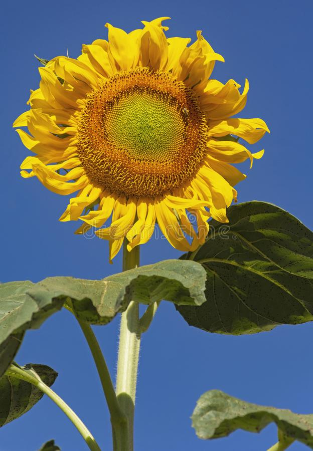 Gigantyczny słonecznik z Kędzierzawymi płatkami przeciw Jasnemu niebieskiemu niebu obrazy stock