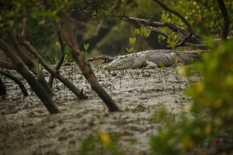 Gigantyczny solony wodny krokodyl łapiący w mangrowe Sundarbans zdjęcie stock