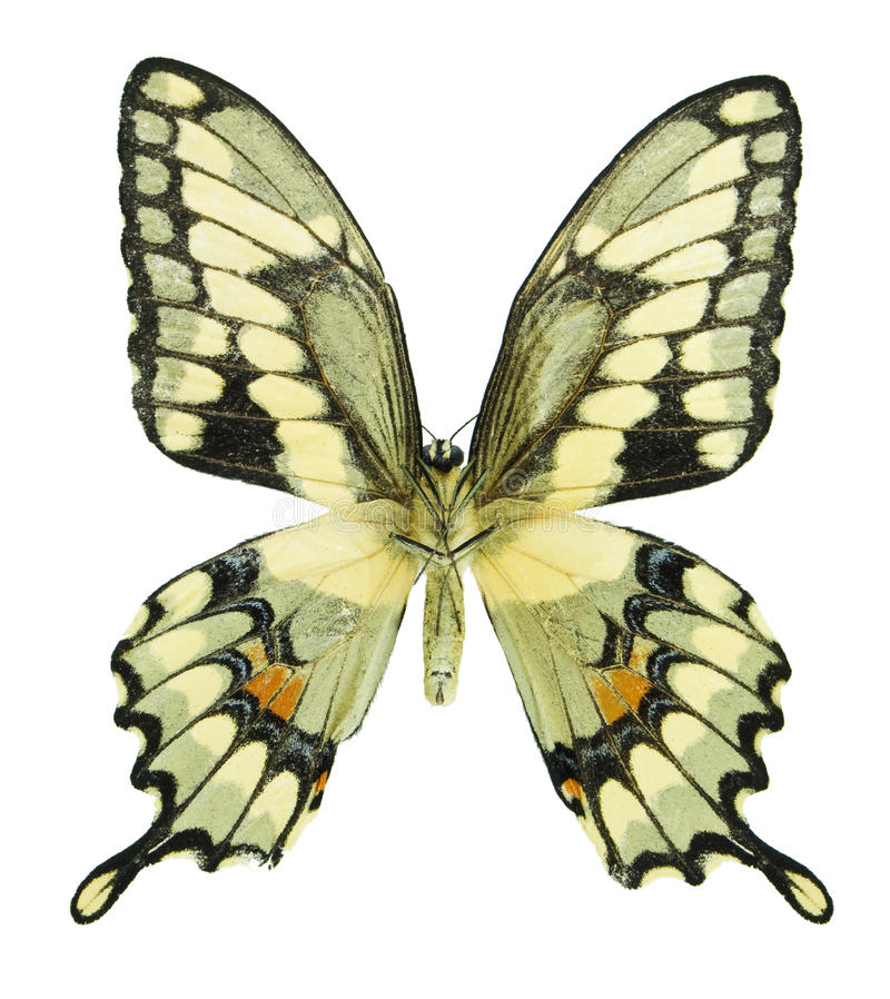 gigantyczny swallowtail fotografia stock
