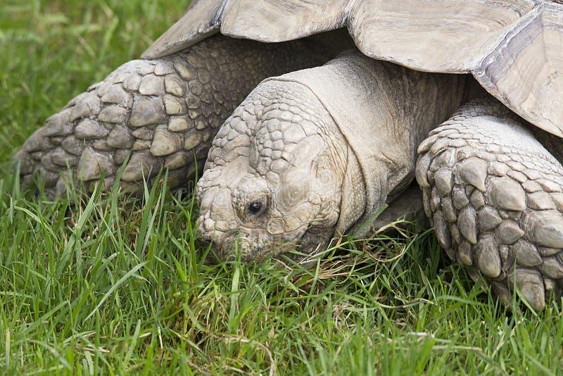 Gigantyczny Tortoise przy Longleat przyrody parkiem zdjęcia royalty free