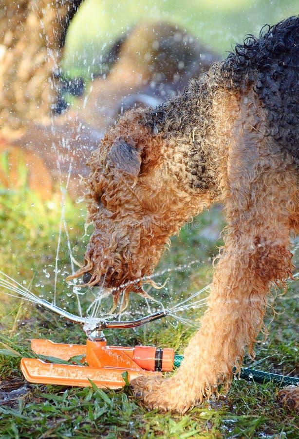Gigantyczny trakenu Airedale Terrier psi bawić się w wodzie obrazy royalty free