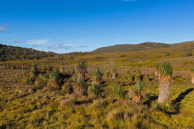 Gigantyczny trawy drzewo, Pandani, wyróżniający endemiczny Tasmanian angiosp zdjęcie stock