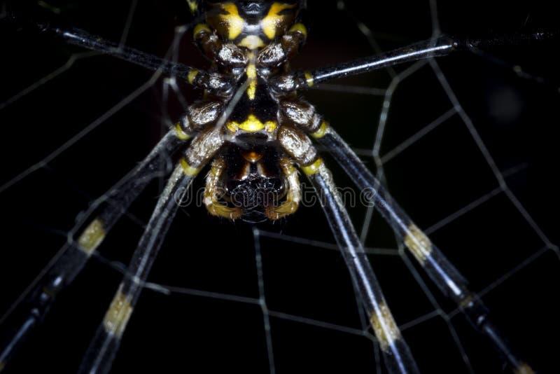 Gigantyczny tygrysi czarny, żółty pająk zamknięty w górę i zdjęcia stock