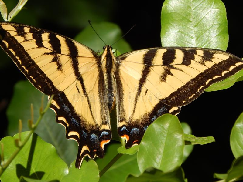 Gigantyczny Tygrysi Swallowtail motyl na zieleni Opuszcza Wysoka Rozdzielczość obraz stock