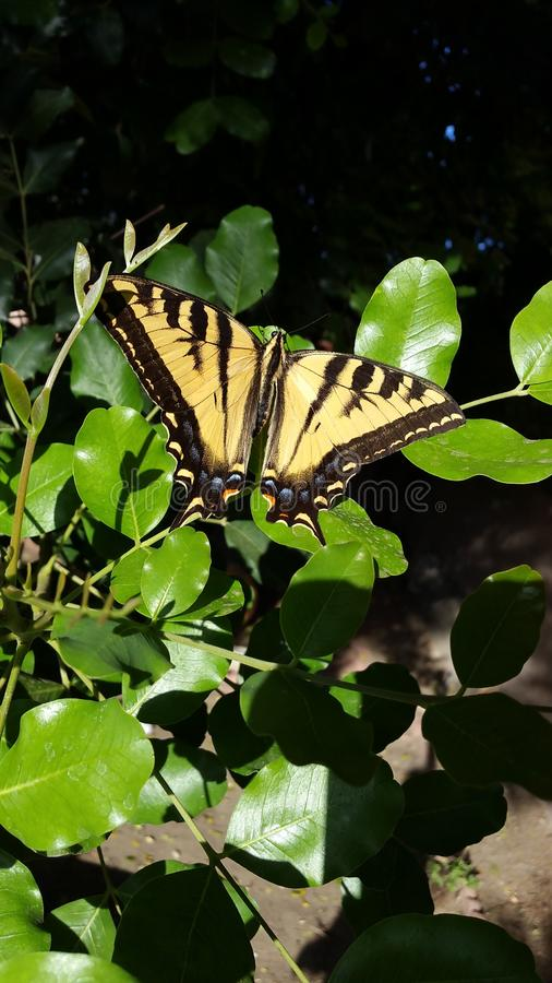 Gigantyczny Tygrysi Swallowtail motyl na zieleni Opuszcza Wysoka Rozdzielczość zdjęcie stock
