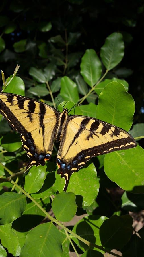 Gigantyczny Tygrysi Swallowtail motyl na zieleni Opuszcza Wysoka Rozdzielczość obraz royalty free