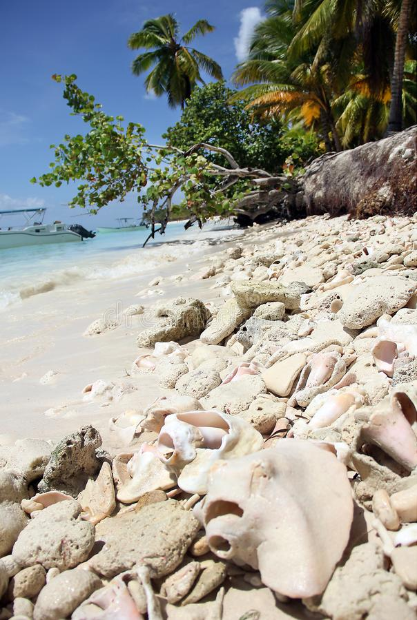 Gigas grandes del Strombus de la perla del rosa de la cáscara del océano y el coral que miente en una playa del Caribe de la aren foto de archivo