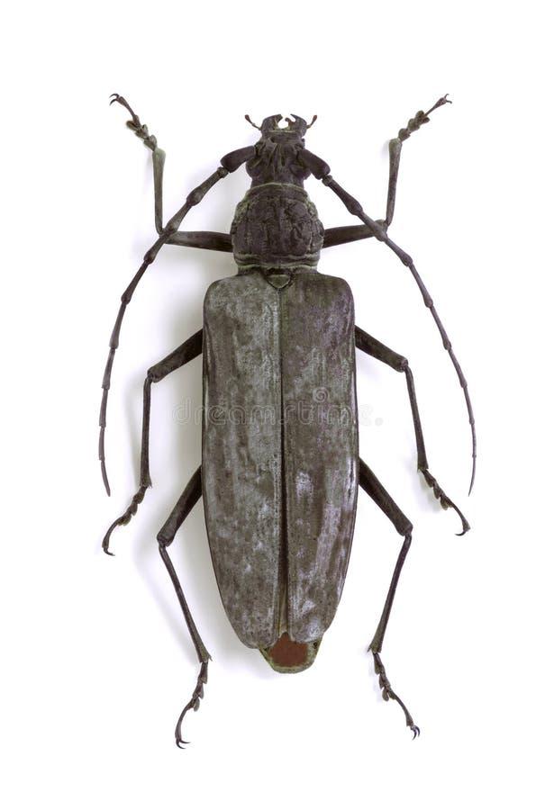 gigasneocerambyx royaltyfri bild