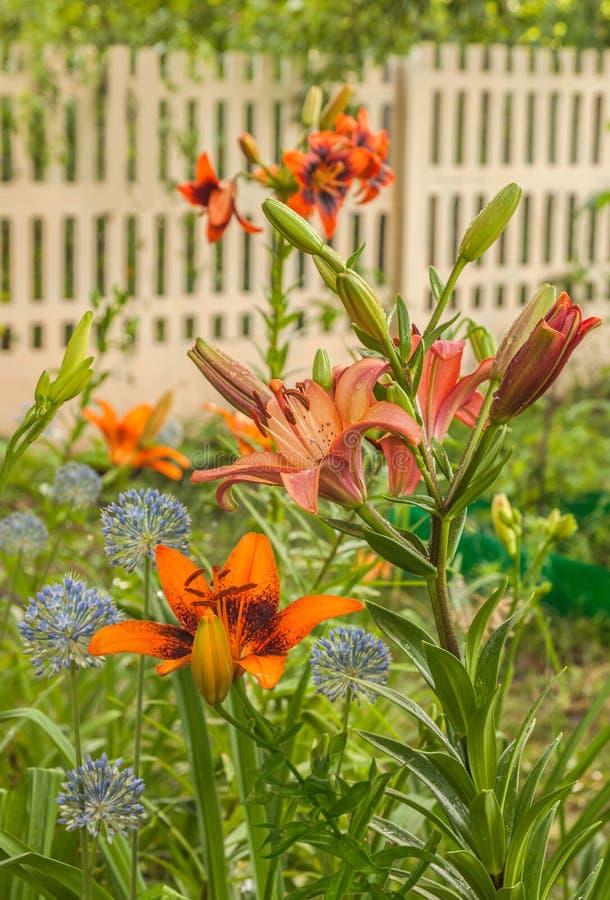 Gigli degli ibridi asiatici e delle cipolle blu decorative nel giardino immagine stock libera da diritti