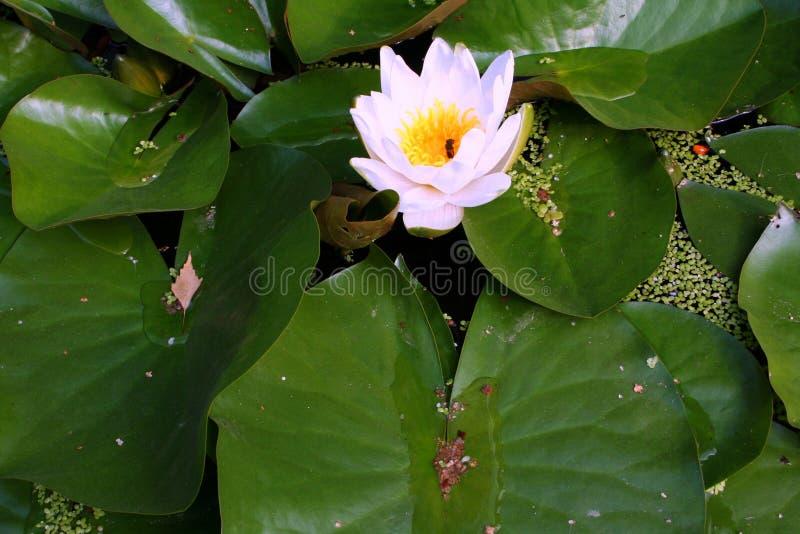 Gigli di acqua di fioritura immagine stock