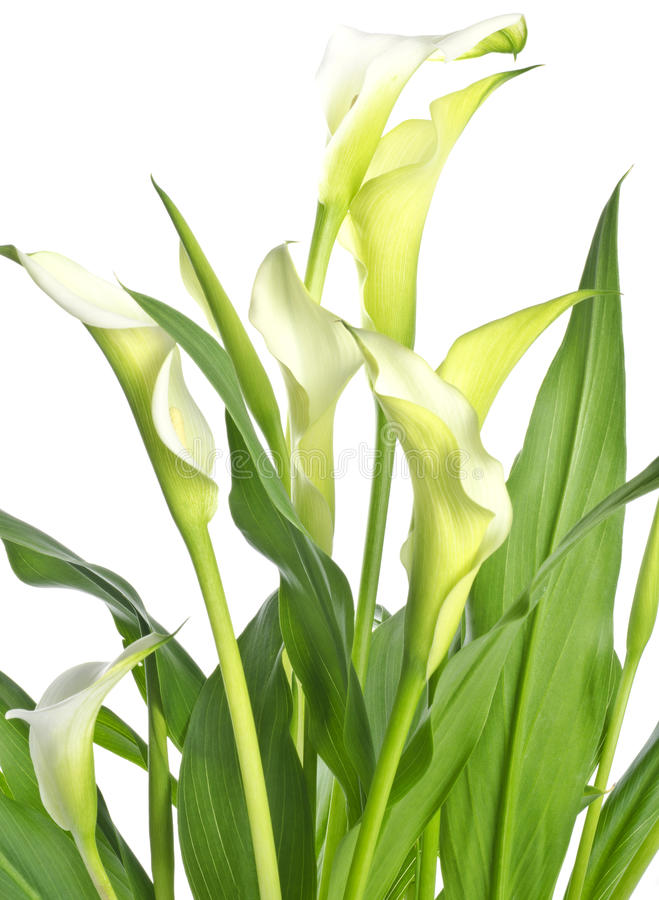 Gigli di Calla bianchi isolati su bianco fotografie stock libere da diritti
