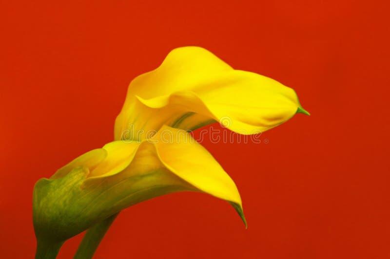 Gigli di Calla intrecciati immagini stock libere da diritti