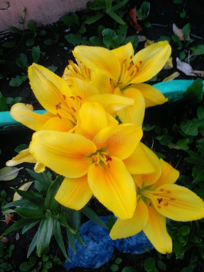 Gigli gialli fotografie stock libere da diritti