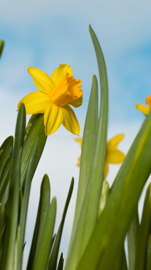 Gigli gialli di fioritura contro lo sfondo del cielo della molla fotografie stock