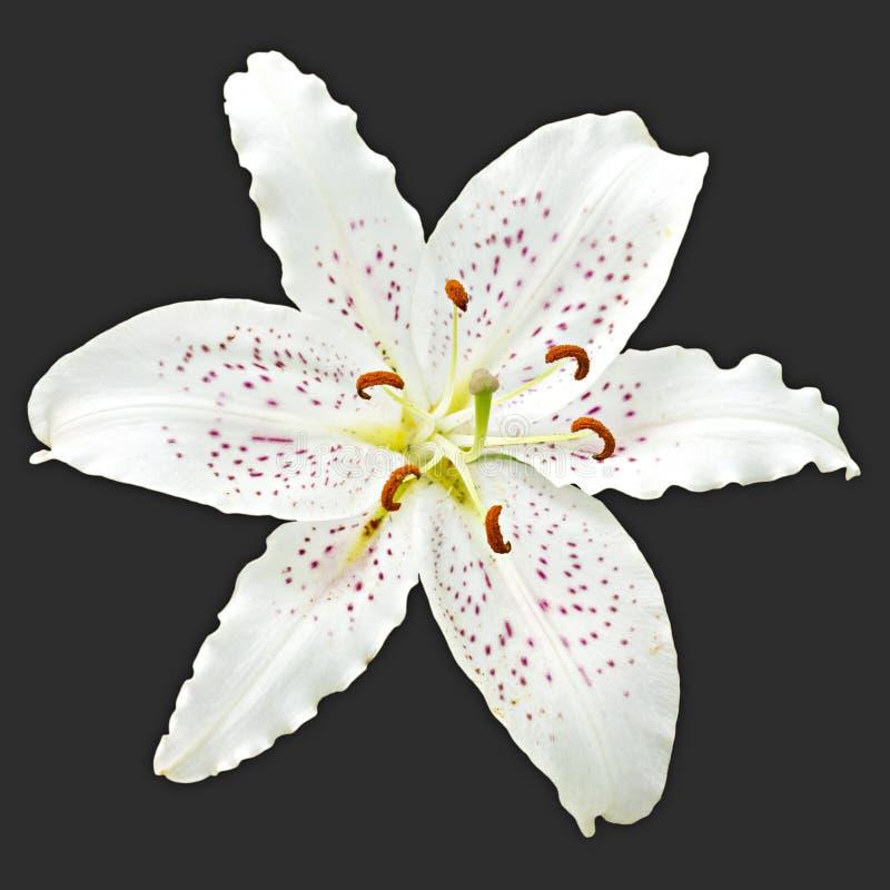 Giglio bianco del fiore del reale fotografia stock libera da diritti
