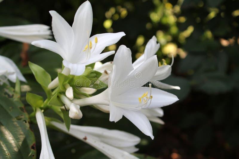 Giglio bianco del giardino immagini stock