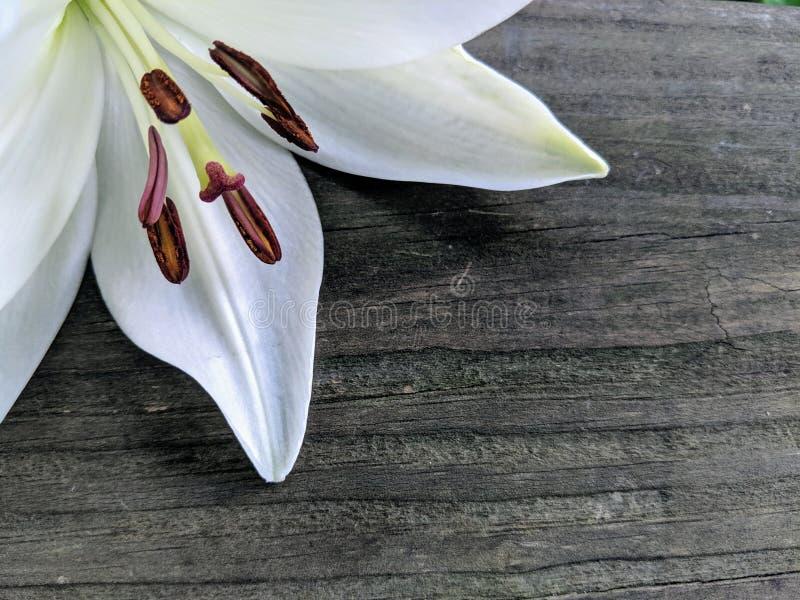 Giglio bianco su legno fotografia stock