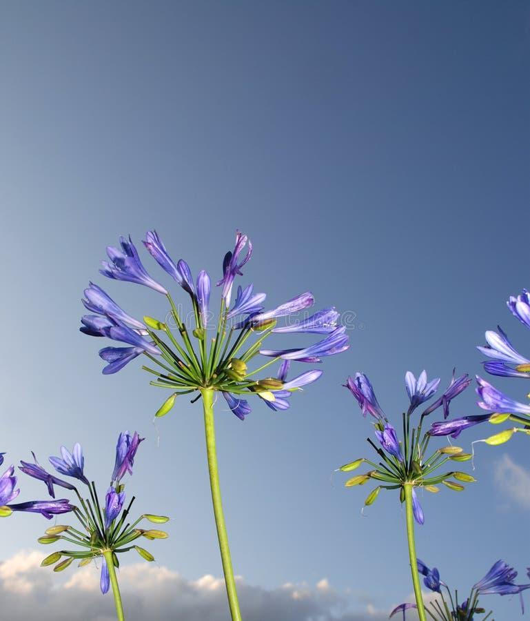 Giglio blu africano fotografie stock libere da diritti