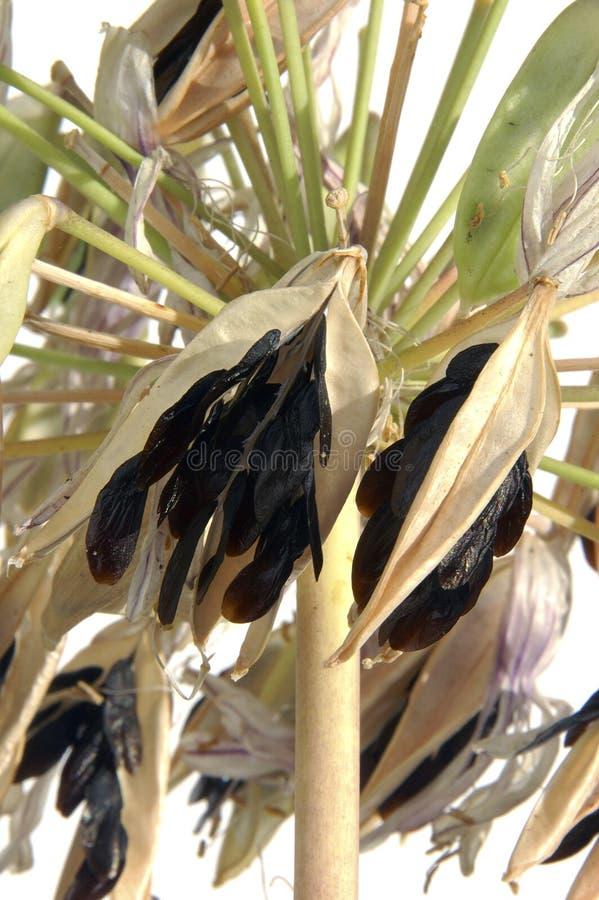 Giglio dei semi del Nilo immagini stock libere da diritti