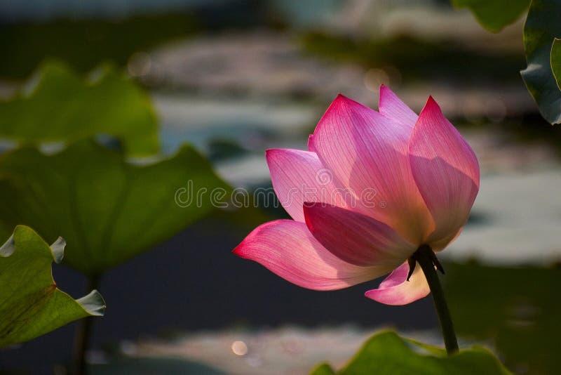 Download Giglio di acqua immagine stock. Immagine di pink, quadrato - 207219