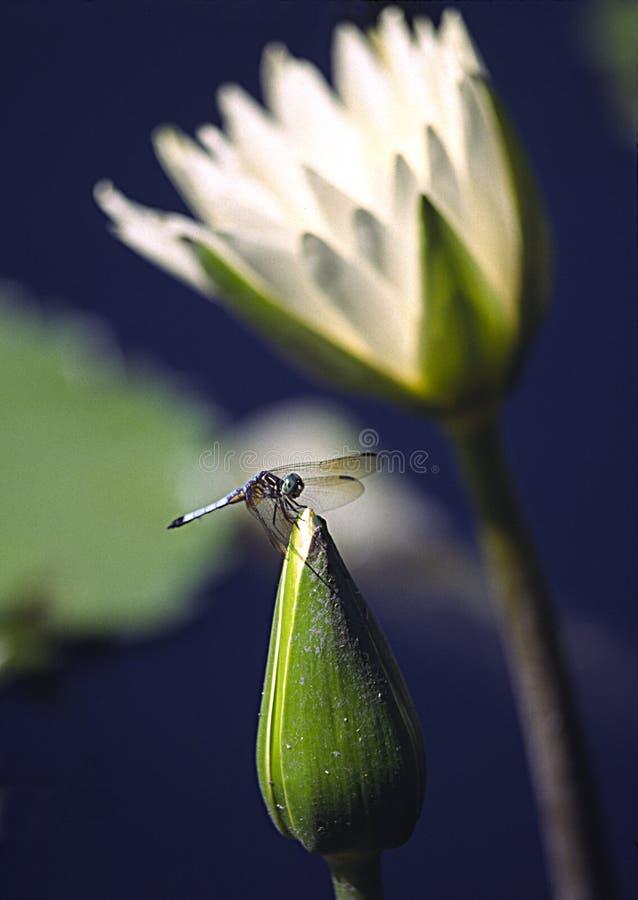 Giglio di acqua e della libellula immagini stock