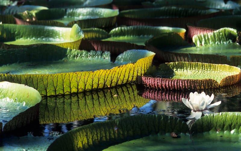 Giglio di acqua gigante del Amazon fotografia stock libera da diritti