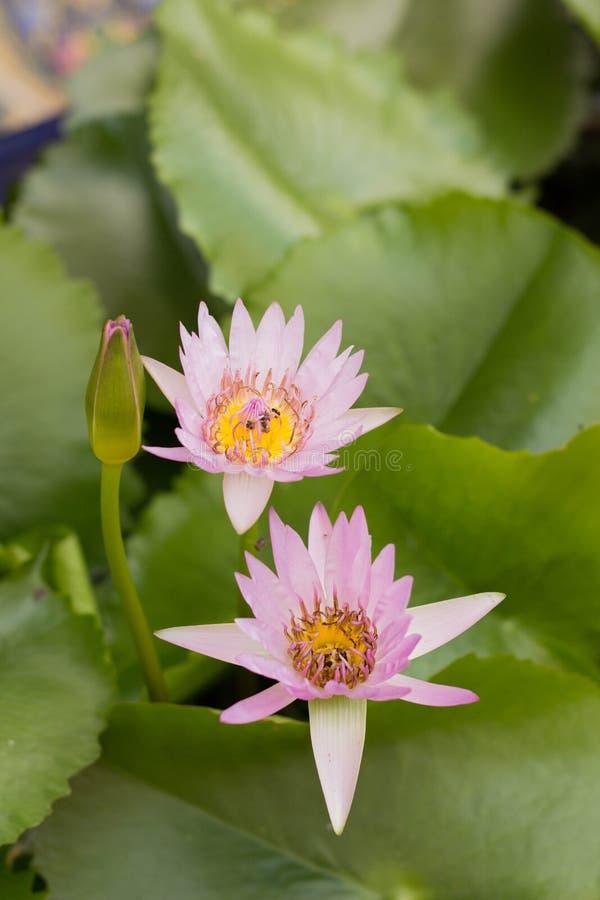 Giglio di open water fresco rosa, nymphaeaceae, sul lago Natura, loto fotografie stock libere da diritti