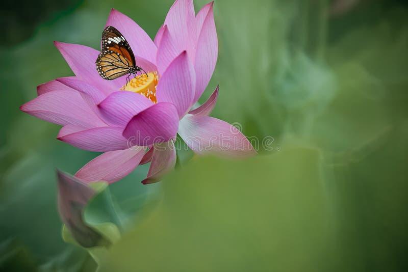 Giglio e farfalla di acqua viola per la BG immagini stock