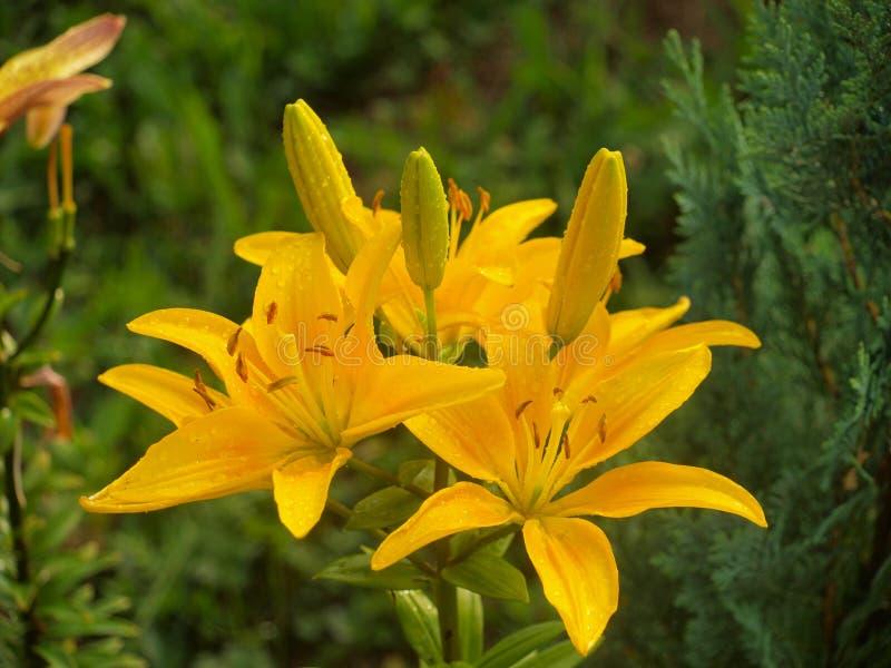 Giglio giallo fotografia stock