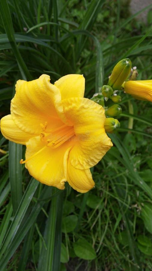 Giglio giallo immagine stock