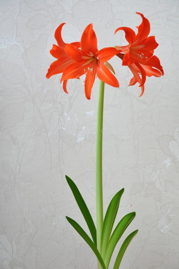 Giglio (Hippeastrum-Amaryllidaceae fotografia stock