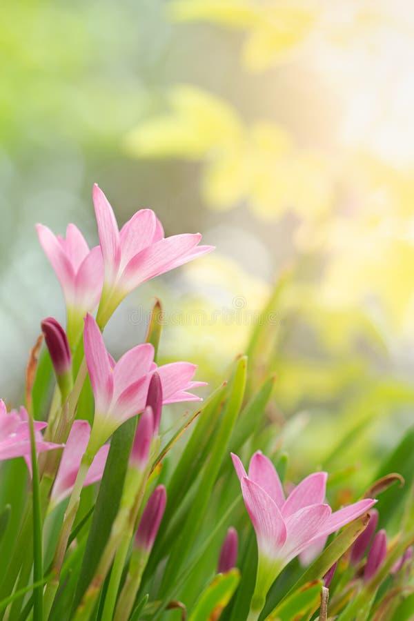 Giglio leggiadramente, giglio della pioggia, o fiore dello zefiro nel giardino di estate Zephyranthes grandiflora fotografia stock