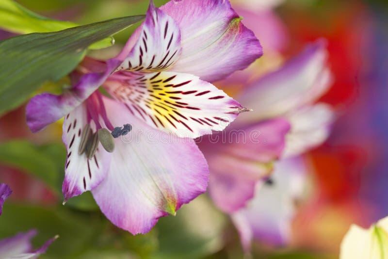 Giglio peruviano, Alstroemeria fotografie stock