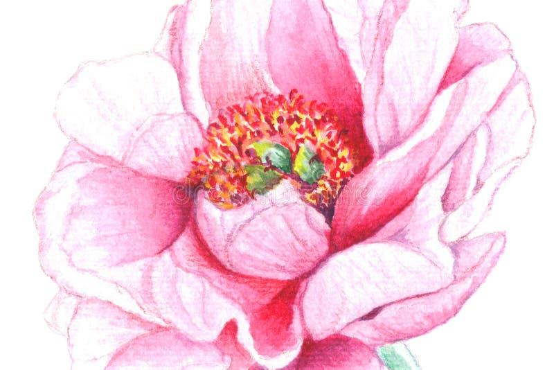 Giglio realistico dell'acquerello di bianco-pinc, pione, rovo sul fondo del wite illustrazione di stock