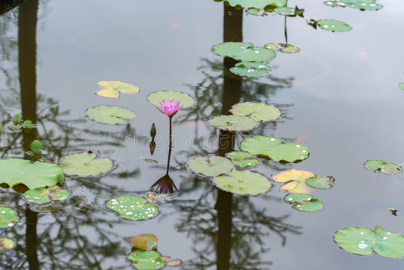 Giglio rosa e la sua riflessione in acqua fotografia stock libera da diritti