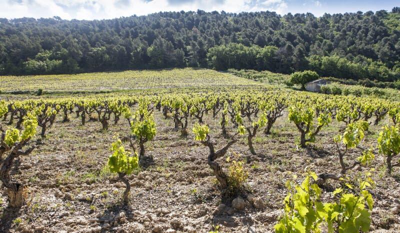 Gigondas vingård på våren royaltyfri foto