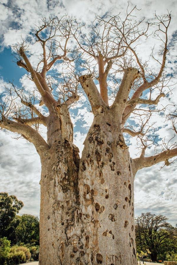 Gija Jumulu l'arbre géant de Boab dans les Rois Park, Perth, WA, Australie photographie stock libre de droits