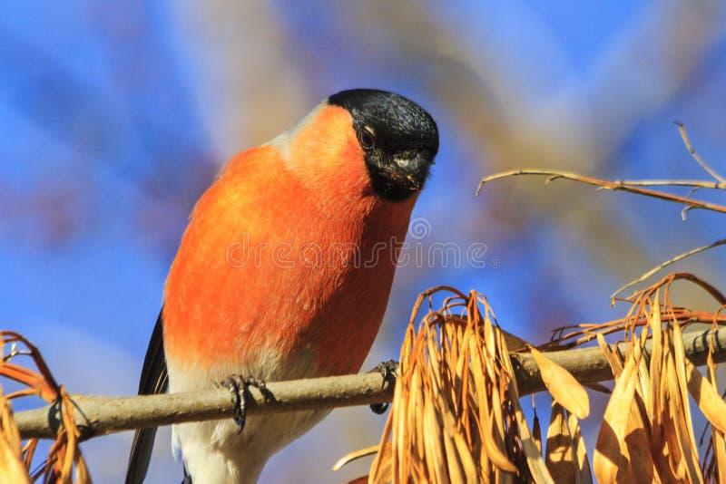 Gil - piękny czerwony ptasi portret zdjęcie stock