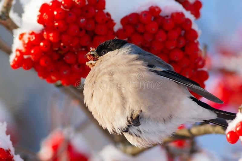 Gila łasowania rowan czerwona jagoda na niebieskiego nieba tle obraz stock
