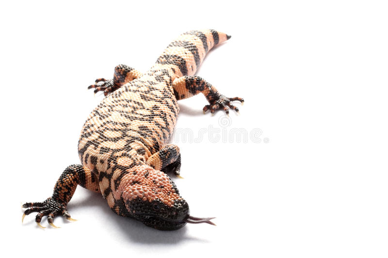 Gila monster. (Heloderma suspectum) isolated on white background royalty free stock photo